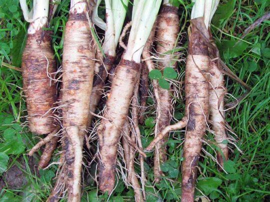 Овсяный корень